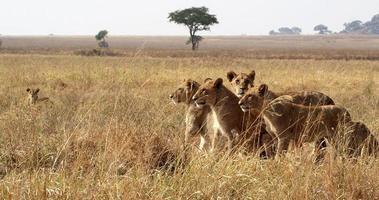lions dans l'herbe