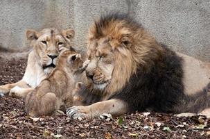 familia de leones foto
