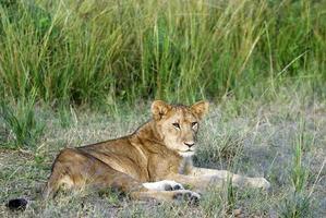 joven león macho acostado foto