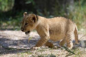 kleine leeuwenwelp buiten lopen