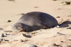 Wild Monk Seal photo