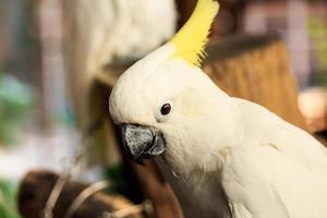oiseau cacatoès.