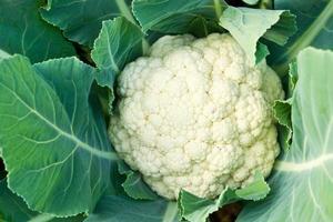 Fresh cauliflower photo