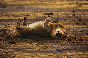 lazy_lion foto