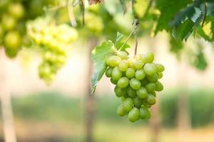Green grape photo