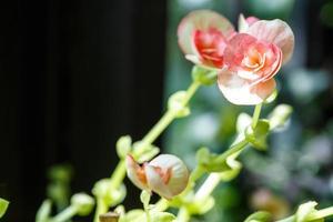 Flowering Onion photo