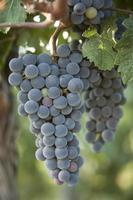 uvas de vino en la naturaleza foto