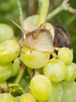 hélice pomatia, caracol de uva