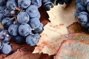 cosecha de uvas para la elaboración del vino foto
