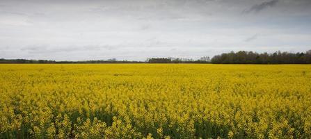 Turnip field photo