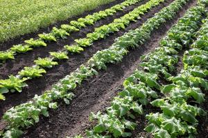 turnip growing in rows