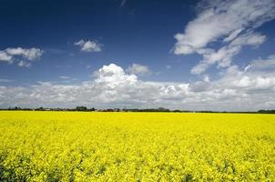 Mustard flowers field photo