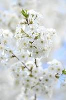 beautiful delicate cherry tree flowers photo