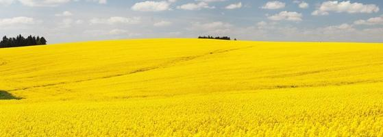 Panoramic view of flowering field of rapeseed - brassica napus