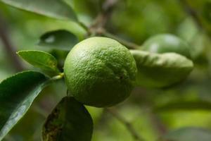 lime tree (lemon) photo