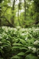 Wild woodland garlic