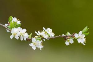 Branch with white Plum flowers or Prunus domestica