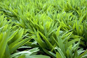 Lettuce field photo