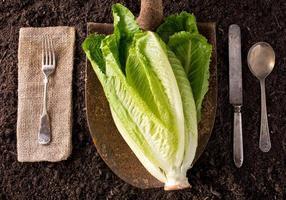 Romaine Lettuce photo