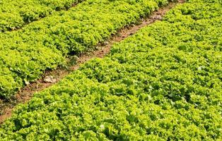 Salat auf dem Bauernhof.