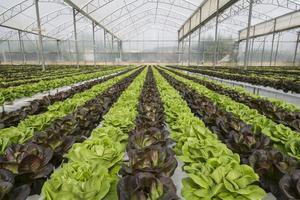 colture di lattuga in serra