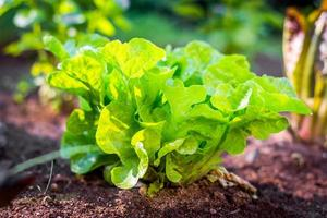 Organic lettuce in soil photo