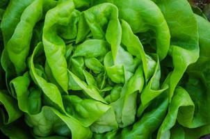 Lettuce photo
