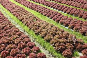 Lettuces growing in rows photo