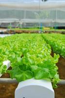 carvalho vermelho, carvalho verde, hidroponia cultivo vegetal verde em f