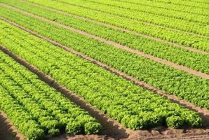 campo de ensalada en una granja en italia