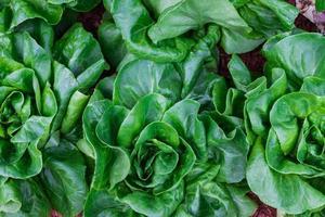The lettuce. photo