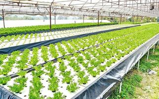 Hydroponics method of growing plants using mineral nutrient solutions photo