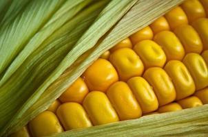 Fresh corn cob close-up