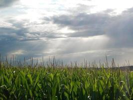 puesta de sol sobre un campo de maíz