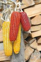 Corn cobs photo