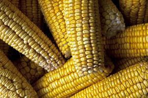 Corn cobs. photo