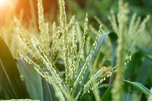 flor de maiz. foto