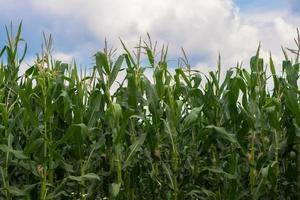 Corn field photo