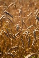 Wheat, corn photo