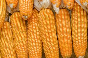 dry corn photo