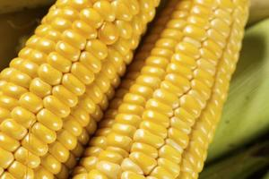 Fresh sweet corn photo