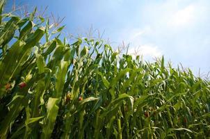 campo de maiz verde foto