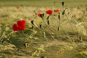 poppies and corn photo