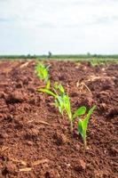 plántulas de maíz jóvenes.