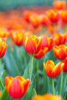 Orange tulip flower in garden