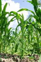 close-up do campo de milho