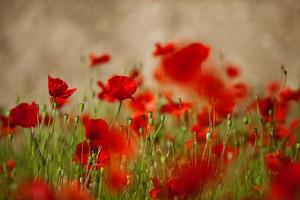 Red Corn Poppy Flowers