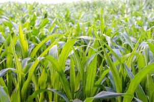 Closeup of corn field