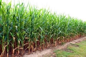 Corn Field in Alabama photo