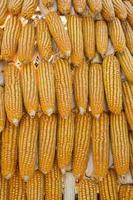 Raw corn, yellow background